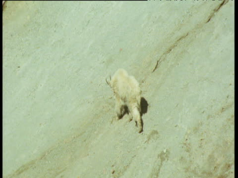 mountain goats walk away over scree on steep slope above river, glacier national park, montana - glacier national park us stock videos and b-roll footage