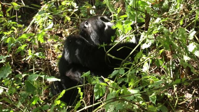 Mountain gorilla 3