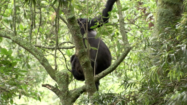 A mountain gorilla and its baby cling to a tree in the Bwindi Impenetrable Forest. Available in HD.