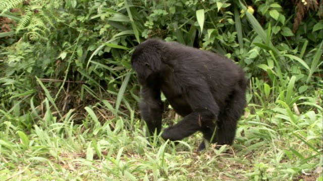 A mountain gorilla beats its chest as it stands up in a clearing. Available in HD.