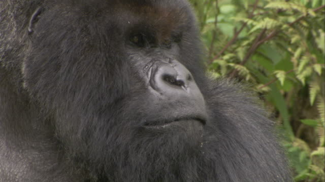 A mountain gorilla blinks as it turns its head. Available in HD.