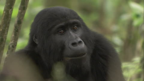 a mountain gorilla blinks its eyes as it turns its head. available in hd. - animal head stock videos & royalty-free footage