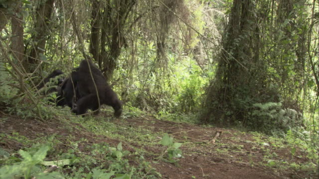 A mountain gorilla charges at other gorillas in a forest. Available in HD.