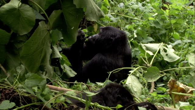 A mountain gorilla chews leaves as mother plays with infant in foliage. Available in HD.