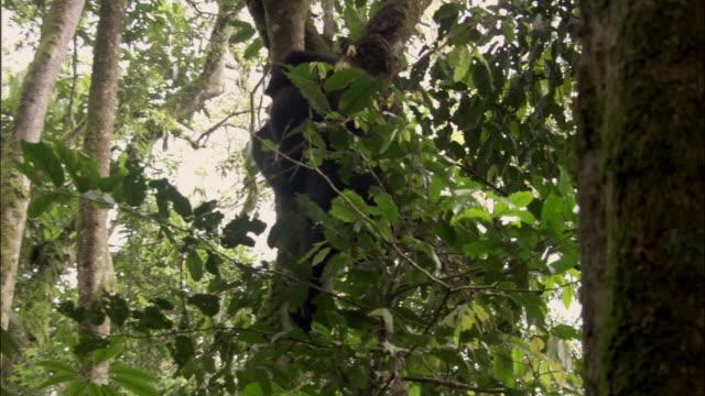 ms, td, mountain gorilla (gorilla beringei beringei) climbing down tree, bwindi impenetrable national park, uganda - dragon tree stock videos & royalty-free footage