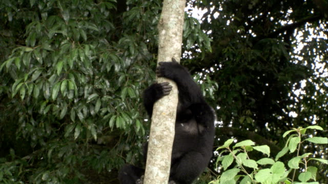 A mountain gorilla climbs a limbless tree trunk. Available in HD.