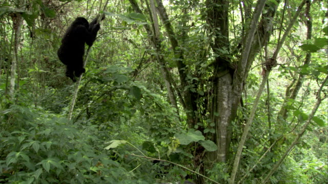 A mountain gorilla climbs a sapling and pulls it to the ground. Available in HD.