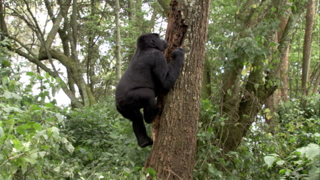 A mountain gorilla climbs a tree, removes a piece of bark, and climbs back down. Available in HD.