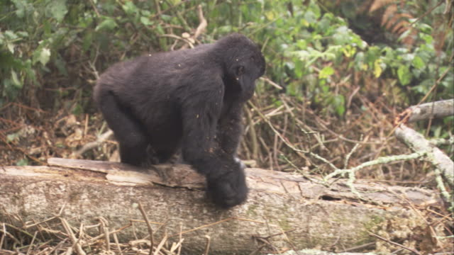 A mountain gorilla climbs across a log and eats bark near other gorillas Available in HD.