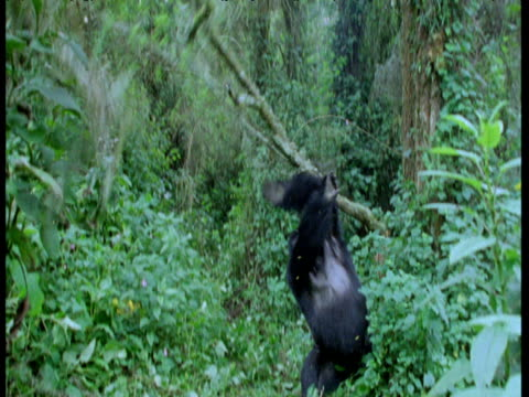 mountain gorilla climbs tree and hangs from it, tree breaks and gorilla falls - moving down stock videos & royalty-free footage