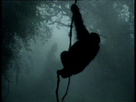 mountain gorilla climbs vine in mist, volcanoes national park, rwanda - nationalpark stock-videos und b-roll-filmmaterial