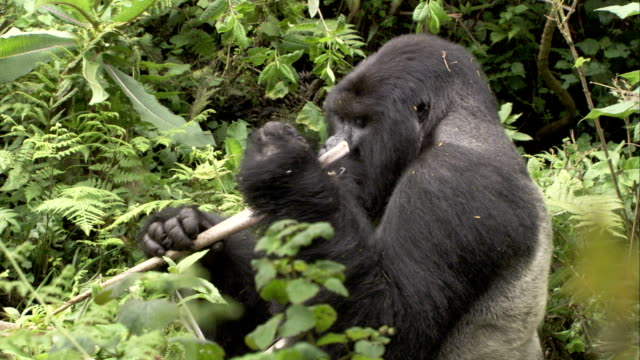 A mountain gorilla eats a plant stalk in a jungle. Available in HD.