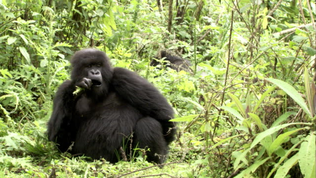 A mountain gorilla eats a twig. Available in HD.