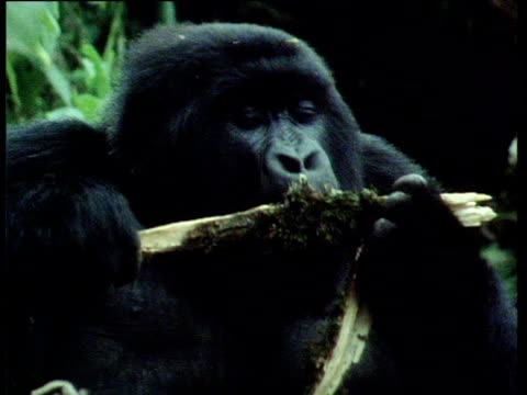 Mountain Gorilla eats, beats chest and climbs tree, Volcanoes National Park, Rwanda