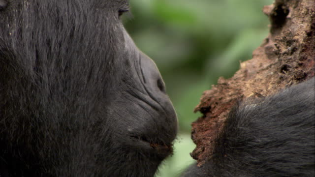 a mountain gorilla eats from a piece of rotting wood. available in hd. - chewing stock videos & royalty-free footage