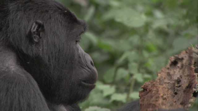A mountain gorilla eats from a piece of rotting wood. Available in HD.