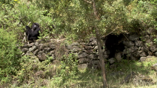 A mountain gorilla eats next to a stone wall. Available in HD.
