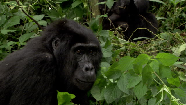 a mountain gorilla eats vines as another gorilla leaves. available in hd. - 絶滅の恐れのある種点の映像素材/bロール