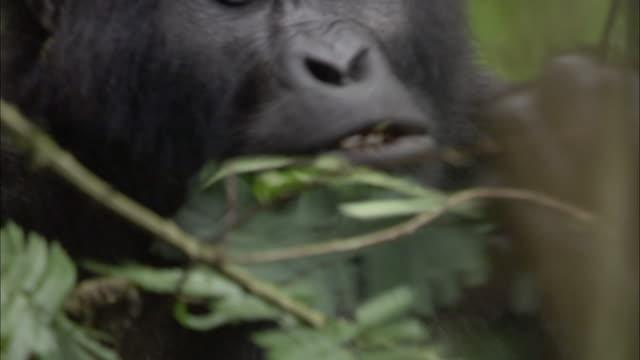 cu, mountain gorilla (gorilla beringei beringei) feeding in forest, bwindi impenetrable national park, uganda - gorilla stock-videos und b-roll-filmmaterial