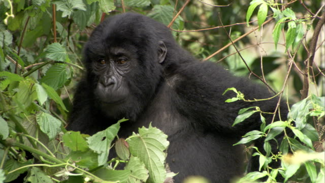 A Mountain Gorilla feeds on thick jungle vegetation. Available in HD.