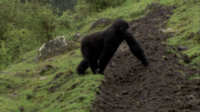 A Mountain gorilla forages in a farm field. Available in HD.