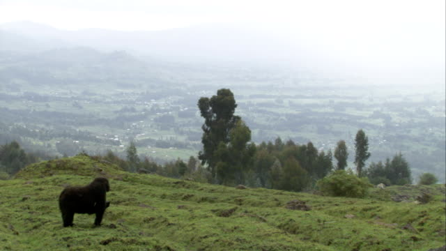 A Mountain gorilla forages in a field overlooking a valley in Rwanda. Available in HD.