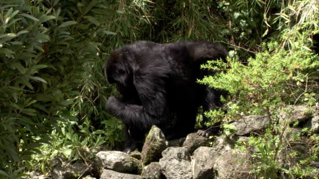 A mountain gorilla forages in a jungle. Available in HD.