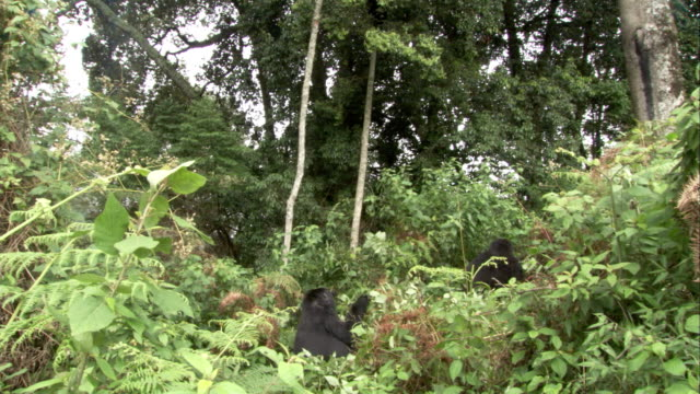 A mountain gorilla forages on forest floor foliage. Available in HD.