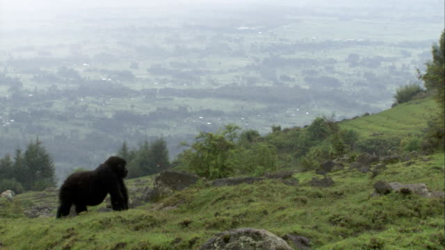 A Mountain gorilla forages on hillside high above a valley in Rwanda. Available in HD.