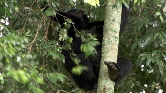 a mountain gorilla grips the trunk of a tree as it chews on a twig. available in hd. - twig stock videos & royalty-free footage