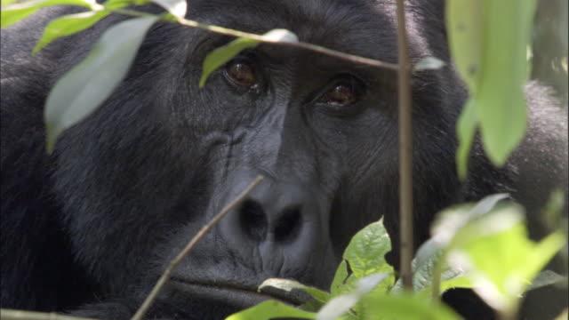 ECU, Mountain Gorilla (Gorilla beringei beringei) in forest, Bwindi Impenetrable National Park, Uganda