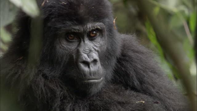 CU, Mountain Gorilla (Gorilla beringei beringei) in forest, Bwindi Impenetrable National Park, Uganda