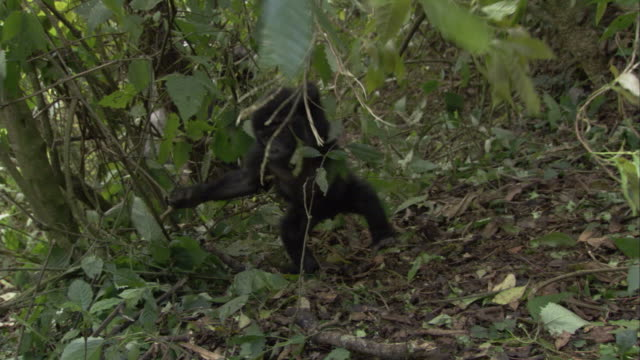 A mountain gorilla infant hangs onto branches as it walks on a forest floor. Available in HD.
