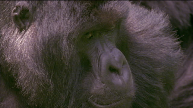 Mountain gorilla looks to camera with thoughtful expression Available in HD.