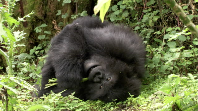 A mountain gorilla lying in its nest eats leaves. Available in HD.