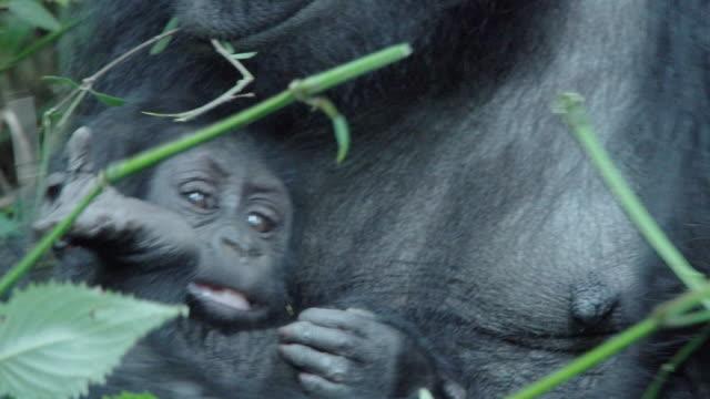 MCU TD Mountain Gorilla mother w/ baby