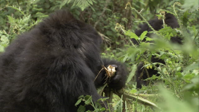 A mountain gorilla munches a root. Available in HD
