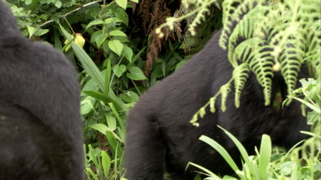 A mountain gorilla munches leaves. Available in HD.