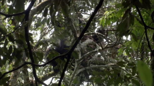MS, LA, Mountain Gorilla (Gorilla beringei beringei) on tree, Bwindi Impenetrable National Park, Uganda