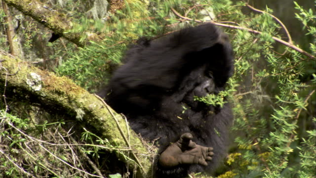 A mountain gorilla reaches for a tree branch and eats the leaves. Available in HD.