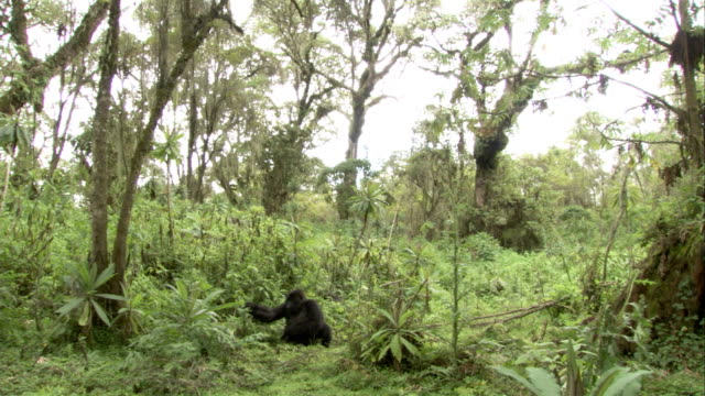 A mountain gorilla reaches out for leaves to eat. Available in HD.