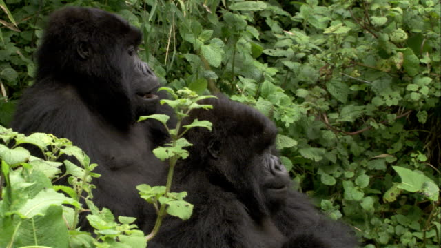 A mountain gorilla rests its hand on the shoulder of its companion. Available in HD.