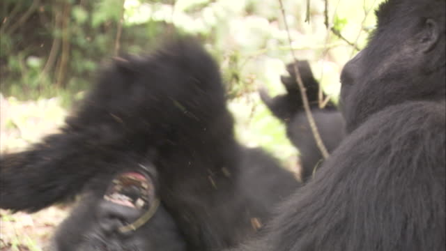A mountain gorilla rolls across the ground near another gorilla. Available in HD.