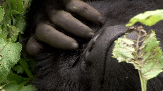 A mountain gorilla rubs its forehead and left eye as it relaxes. Available in HD.