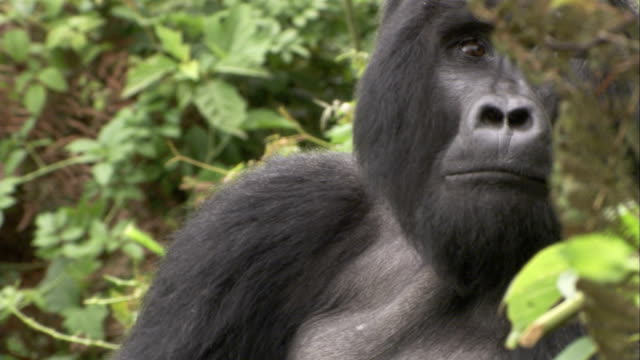 A mountain gorilla scratches its chin as it looks around. Available in HD.