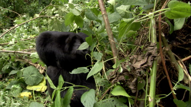 A mountain gorilla scratches its head as it sits amongst foliage. Available in HD.