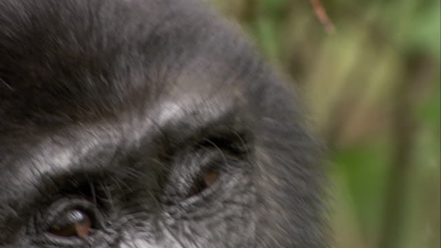 A Mountain Gorilla scratches its head. Available in HD.