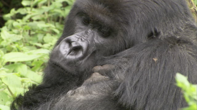 A mountain gorilla sits and scratches itself and looks around. Available in HD