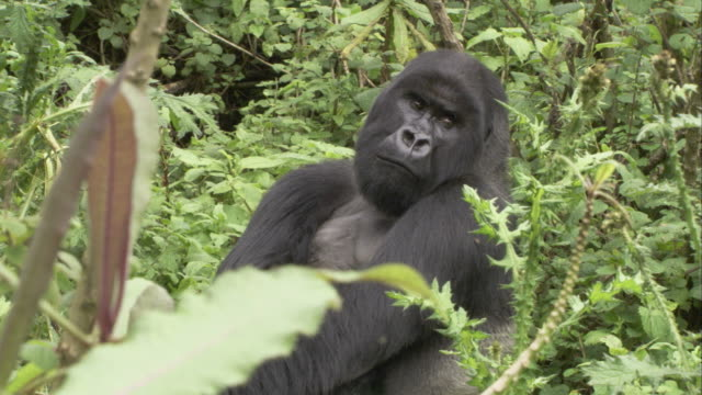 A mountain gorilla sits in the jungle and looks around. Available in HD