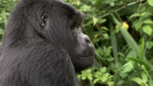 A mountain gorilla sits in the jungle. Available in HD.
